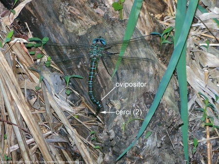 A Swamp Darner dragonfly (Epiaeschna heros) spotted at Huntley Meadows Park, Fairfax County, Virginia USA. This individual is a female, laying eggs (oviposition) in soft wood.