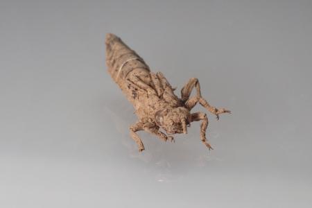 Gomphidae-exuvia_focus-stack_Ver3
