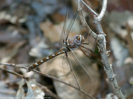 A Stream Cruiser dragonfly (Didymops transversa) spotted at Accotink Bay Wildlife Refuge, Fairfax County, Virginia USA. This individual is a female.