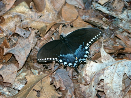 A Spicebush Swallowtail butterfly (Papilio troilus) spotted at Huntley Meadows Park, Fairfax County, Virginia USA.
