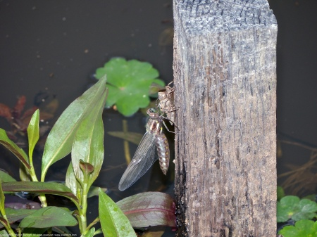 A Common Whitetail dragonfly spotted at Huntley Meadows Park, Fairfax County, Virginia USA. This individual is an emerging female.