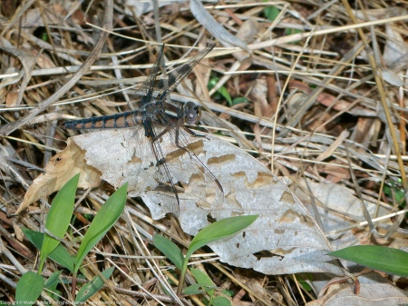 A Blue Corporal dragonfly (Ladona deplanata) spotted at Hidden Pond, Meadowood Recreation Area, Fairfax County, Virginia USA. This individual is a female.