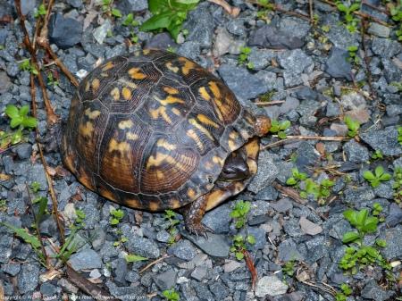 An Eastern Box Turtle (Terrapene carolina carolina) spotted at West Meadows Trails, Meadowood Recreation Area, Fairfax County, Virginia USA.