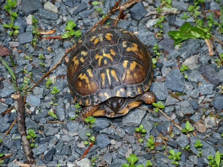 An Eastern Box Turtle (Terrapene carolina carolina) spotted at West Meadows Trails, Meadowood Recreation Area, Fairfax County, Virginia USA.