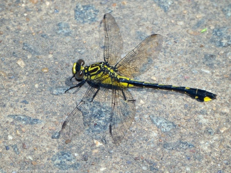 A Cobra Clubtail dragonfly (Gomphus vastus) spotted at Riverbend Park, Fairfax County, Virginia USA. This individual is a female.