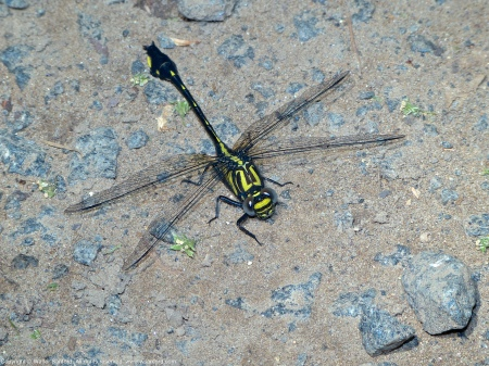 A Cobra Clubtail dragonfly (Gomphus vastus) spotted at Riverbend Park, Fairfax County, Virginia USA. This individual is a male.