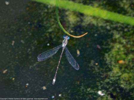 A male member of the Family Lestidae of damselflies (Spreadwings) spotted at Enchanted Pond, Meadowood Recreation Area, Fairfax County, Virginia USA. This individual is either a Southern Spreadwing damselfly (Lestes australis) or Sweetflag Spreadwing damselfly (Lestes forcipatus).