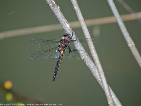 A Common Baskettail dragonfly (Epitheca cynosura) spotted at Jackson Miles Abbott Wetland Refuge, Fairfax County, Virginia USA. This individual is a male.