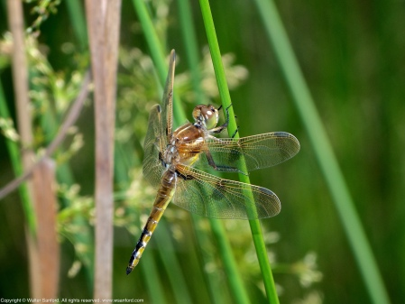 A Painted Skimmer dragonfly (Libellula semifasciata) spotted at Huntley Meadows Park, Fairfax County, Virginia USA. This individual is a teneral male.