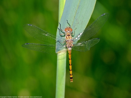 A Blue-faced Meadowhawk dragonfly (Sympetrum ambiguum) spotted at Huntley Meadows Park, Fairfax County, Virginia USA. This individual is a teneral female with a malformed wing.