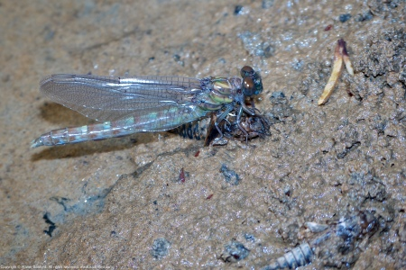 A Common Sanddragon nymph/dragonfly (Progomphus obscurus) spotted along Dogue Creek at Wickford Park, Fairfax County, Virginia USA. This individual is an emergent male.