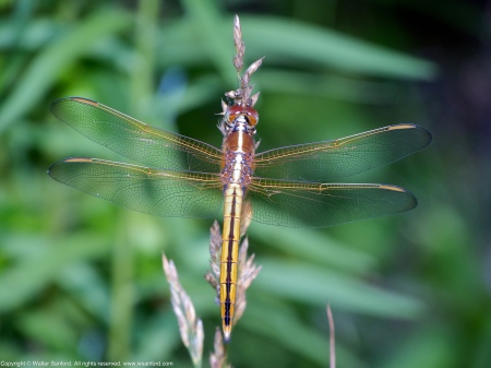 A Needham's Skimmer dragonfly (Libellula needhami) spotted at Occoquan Bay National Wildlife Refuge, Prince William County, Virginia USA. This individual is an immature male.