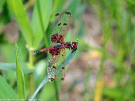 A Calico Pennant dragonfly (Celithemis elisa) spotted at Painted Turtle Pond, Occoquan Bay National Wildlife Refuge, Prince William County, Virginia USA. This individual is a male.