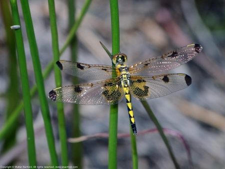 A Calico Pennant dragonfly (Celithemis elisa) spotted at Painted Turtle Pond, Occoquan Bay National Wildlife Refuge, Prince William County, Virginia USA. This individual is a female.