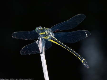 A Dragonhunter dragonfly (Hagenius brevistylus) spotted at Hidden Pond, Meadowood Recreation Area, Fairfax County, Virginia USA. This individual is a female.