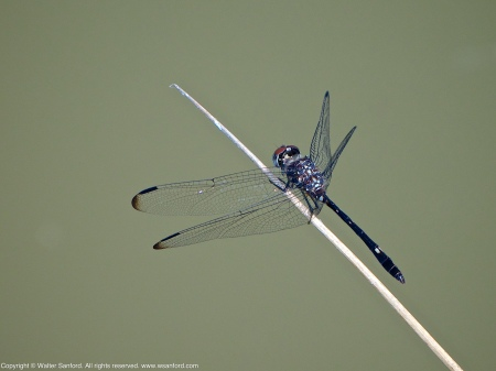 A Swift Setwing dragonfly (Dythemis velox) spotted at Mulligan Pond, Jackson Miles Abbott Wetland Refuge, Fairfax County, Virginia USA. This individual is a male.