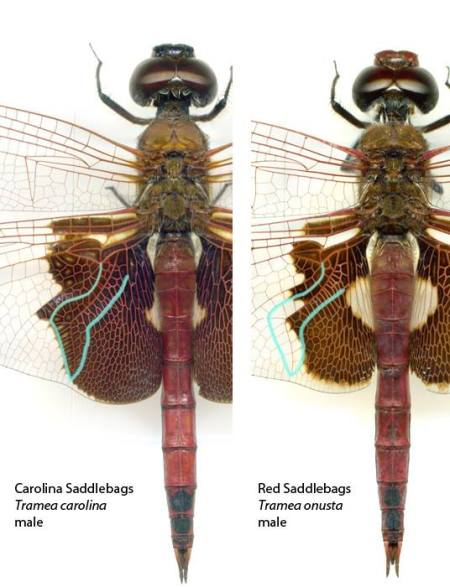 Carolina-and-Red-Saddlebags