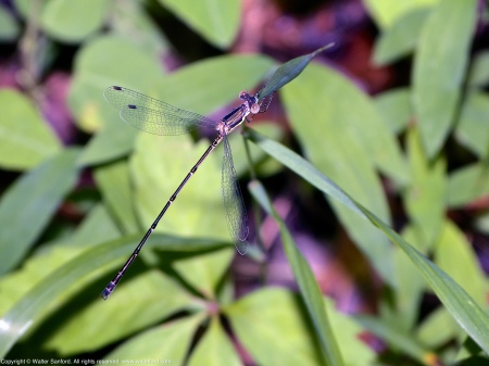 A Slender Spreadwing damselfly (Lestes rectangularis) spotted at Huntley Meadows Park, Fairfax County, Virginia USA. This individual is a young male.