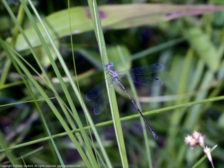 A Slender Spreadwing damselfly (Lestes rectangularis) spotted at Huntley Meadows Park, Fairfax County, Virginia USA. This individual is a male.
