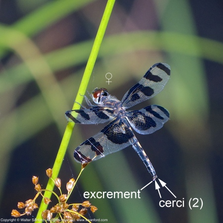 A Banded Pennant dragonfly (Celithemis fasciata) spotted at Hidden Pond, Meadowood Recreation Area, Fairfax County, Virginia USA. This individual is a female.