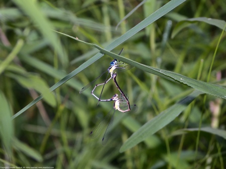 "A mating pair of Slender Spreadwing damselflies (Lestes rectangularis) spotted at Huntley Meadows Park, Fairfax County, Virginia USA. This pair is ""in heart."""
