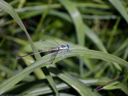 This is the male member of a mating pair of Slender Spreadwing damselflies (Lestes rectangularis) spotted at Huntley Meadows Park, Fairfax County, Virginia USA.
