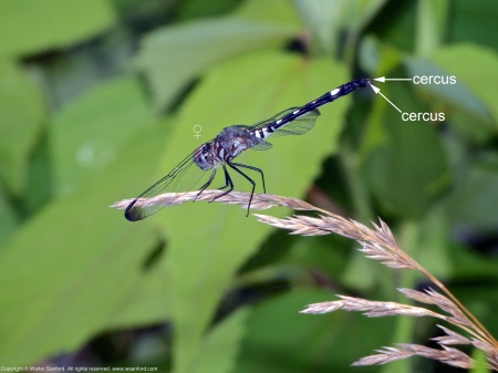 A Swift Setwing dragonfly (Dythemis velox) spotted at Mulligan Pond, Jackson Miles Abbott Wetland Refuge, Fairfax County, Virginia USA. This individual is a female with a malformed wing.