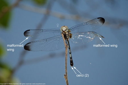 A Swift Setwing dragonfly (Dythemis velox) spotted at Mulligan Pond, Jackson Miles Abbott Wetland Refuge, Fairfax County, Virginia USA. This individual is a female with a malformed wings.