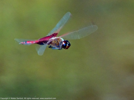 A Carolina Saddlebags dragonfly (Tramea carolina) spotted at Mason Neck West Park, Fairfax County, Virginia USA. This individual is a male, shown in flight.