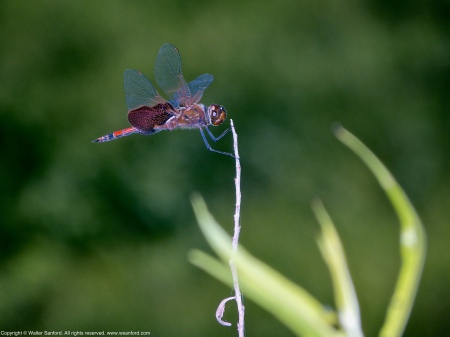 A Carolina Saddlebags dragonfly (Tramea carolina) spotted at Hidden Pond, Meadowood Recreation Area, Fairfax County, Virginia USA. This individual is a male.