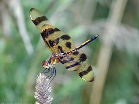 A Halloween Pennant dragonfly (Celithemis eponina) spotted at Meadowood Recreation Area, Fairfax County, Virginia USA. This individual is an immature male.
