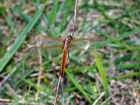 A Needham's Skimmer dragonfly (Libellula needhami) spotted at Meadowood Recreation Area, Fairfax County, Virginia USA. This individual is a female.