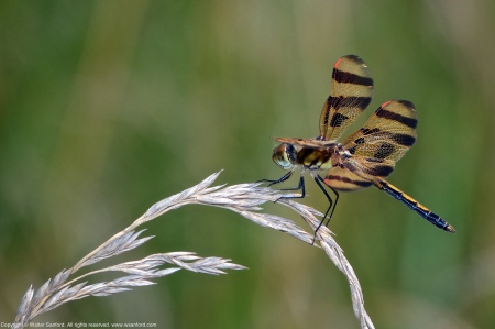 A Halloween Pennant dragonfly (Celithemis eponina) spotted at Meadowood Recreation Area, Fairfax County, Virginia USA. This individual is a young male.