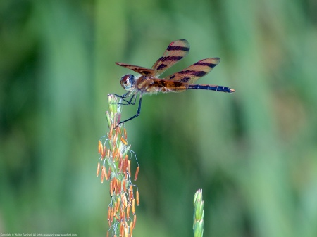 A Halloween Pennant dragonfly (Celithemis eponina) spotted at Occoquan Bay National Wildlife Refuge, Prince William County, Virginia USA. This individual is a mature male.