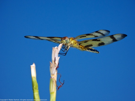 A Halloween Pennant dragonfly (Celithemis eponina) spotted at Occoquan Bay National Wildlife Refuge, Prince William County, Virginia USA. This individual is a female.
