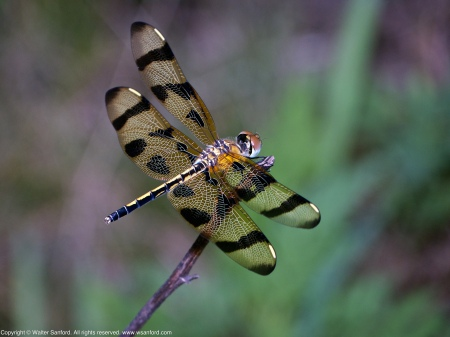 A Halloween Pennant dragonfly (Celithemis eponina) spotted at Huntley Meadows Park, Fairfax County, Virginia USA. This individual is a female.