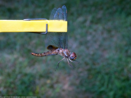 A Spot-winged Glider dragonfly (Pantala hymenaea) netted at Saint Louis Catholic School, Fairfax County, Virginia USA. This individual is a female.