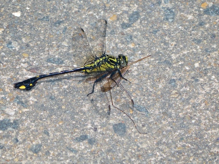 A Cobra Clubtail dragonfly (Gomphus vastus) spotted at Riverbend Park, Fairfax County, Virginia USA. This individual is a male, eating a Crane Fly.