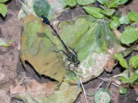 A Cobra Clubtail dragonfly (Gomphus vastus) spotted at Riverbend Park, Fairfax County, Virginia USA. This individual is a male, eating a small butterfly.