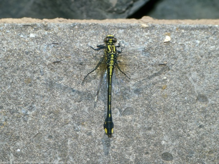 A Cobra Clubtail dragonfly (Gomphus vastus) spotted at Riverbend Park, Fairfax County, Virginia USA. This individual is a female, eating a female damselfly.