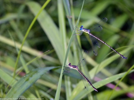 "A mating pair of Slender Spreadwing damselflies (Lestes rectangularis) spotted at Huntley Meadows Park, Fairfax County, Virginia USA. This pair just separated after being ""in tandem."""