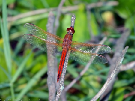 A Needham's Skimmer dragonfly (Libellula needhami) spotted at River Towers Condominiums, Fairfax County, Virginia USA. This individual is a mature male.