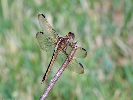 A Needham's Skimmer dragonfly (Libellula needhami) spotted at River Towers Condominiums, Fairfax County, Virginia USA. This individual is a female.