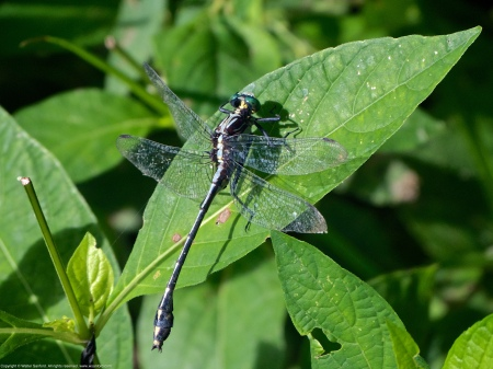 A Black-shouldered Spinyleg dragonfly (Dromogomphus spinosus) spotted along the Potomac River at Riverbend Park, Fairfax County, Virginia USA. This individual is a male.