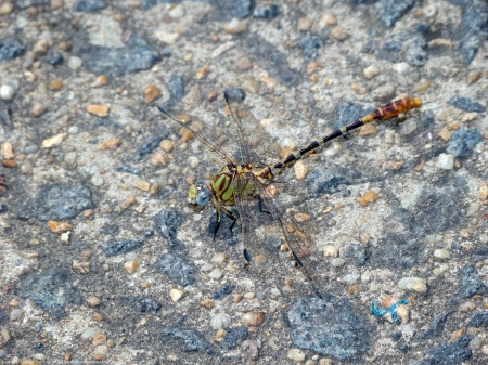 An Eastern Ringtail dragonfly (Erpetogomphus designatus) spotted along the Potomac River at Riverbend Park, Fairfax County, Virginia USA. This individual is a male.