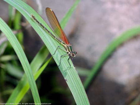 An American Rubyspot damselfly (Hetaerina americana) spotted along the Potomac River at Riverbend Park, Fairfax County, Virginia USA. This individual is a female.