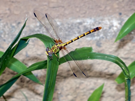 An Eastern Ringtail dragonfly (Erpetogomphus designatus) spotted along the Potomac River at Riverbend Park, Fairfax County, Virginia USA. This individual is a female.