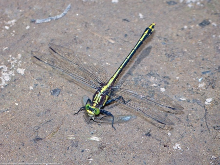 A Black-shouldered Spinyleg dragonfly (Dromogomphus spinosus) spotted along the Potomac River at Riverbend Park, Fairfax County, Virginia USA. This individual is a female, eating a damselfly.