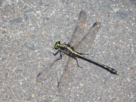 A Black-shouldered Spinyleg dragonfly (Dromogomphus spinosus) spotted along the Potomac River at Riverbend Park, Fairfax County, Virginia USA. This individual is a female.