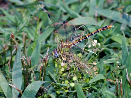An Eastern Ringtail dragonfly (Erpetogomphus designatus) spotted along the Potomac River at Riverbend Park, Fairfax County, Virginia USA. This individual is a female, eating a damselfly.